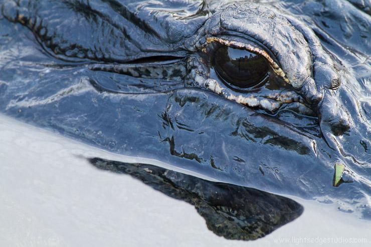 Waiting.  American Alligator